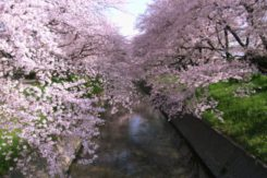 🌸2017春のデート情報🌸~岩倉市五条川~