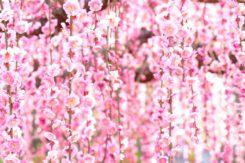 2018✿春の梅まつりデート