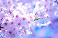 2019🌸お花見デートへ行こう①小牧・岡崎・日進・岩倉